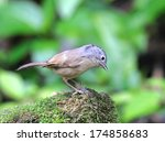 Small photo of Alcippe morrisonia ( Grey-cheeked Fulvetta)