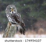 A Great Grey Owl  Strix...