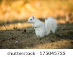 Rare White Squirrel Stashing...