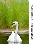 mute swan  cygnus  | Shutterstock . vector #175067843