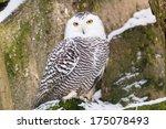 Snowy Owl In Zoo Liberec In...