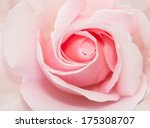 Stock photo closed up of pink rose 175308707