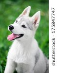 Stock photo puppy of siberian husky sit on green grass background 175847747