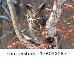 Great Horned Owl Sitting On...