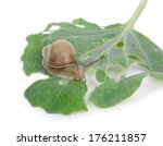 Small Brown Snail On A Green...