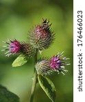 Small photo of Lesser Burdock flowers - Arctium minus