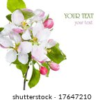 ������, ������: Closeup of Apple blossoms