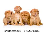 Group Bordeaux Puppy Dog....