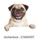 Stock photo pug dog with blank billboard dog above banner or sign pug dog portrait over white background 176504357