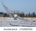 Low Flying Snowy Owl  Hunting...