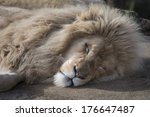 Male Lion Asleep In Sun