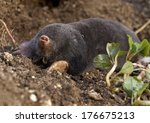 the european mole  talpa... | Shutterstock . vector #176675213