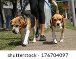 Stock photo walking beagle dogs on lead 176704097