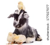 Newborn goat and chickens. farm ...