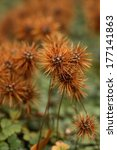 Small photo of New Zealand bur/Acaena microphylla 'Kupferteppich'