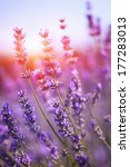 lavender in sunset | Shutterstock . vector #177283013