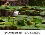 waterlilies in the danube delta ...   Shutterstock . vector #177635693