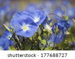 Indigo Morning Glory Flower In...
