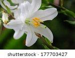 Lilium Longiflorum  Easter Lil...