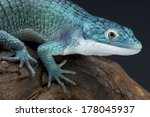 Small photo of Blue bromeliad alligator lizard / Abronia graminea