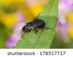 Small photo of Amara aulica, Ground beetle on leaf