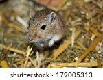 mongolian gerbils  meriones  | Shutterstock . vector #179005313
