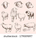 sheep breeding. set of vector... | Shutterstock .eps vector #179009897