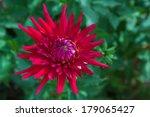 Dahlia Red Flower On Green...
