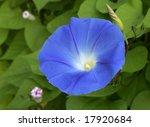 Vivid Blue Perennial That...