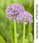 Biggest Allium Flower ...