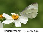 Small photo of Pieris canidia on Bidens pilosa