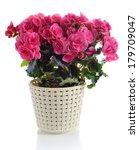Blooming Pink Begonia In Pot ...