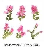 Crepe Myrtle Flowers
