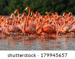 Flock Of Greater Flamingos ...