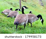 Group Of Canadian Geese Eating