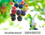 Blackberries On The Vine In...