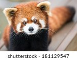 Frontal Portrait Of Red Panda