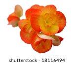 begonia | Shutterstock . vector #18116494