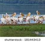 vacationers white pelicans in... | Shutterstock . vector #181443413