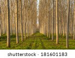 Amazing Poplars Alley In An...