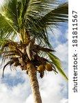 coconut tree | Shutterstock . vector #181811567