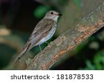 spotted flycatcher  muscicapa... | Shutterstock . vector #181878533