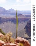 Small photo of Kaibab century plant (agave utahensis var. kaibabensis) on the background of Grand Canyon