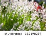 beautiful white lavender flower ... | Shutterstock . vector #182198297