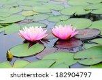 Beautiful Pink Water Lilies