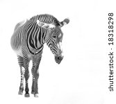 a zebra isolated over a white... | Shutterstock . vector #18318298