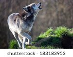 Small photo of Backlit Grey Wolf howling against a background of dark forest/Grey Wolf/Grey Wolf