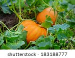 Big Orange Pumpkins Growing In...