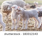 Cute Little Lambs At Eco Farm ...