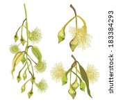 eucalyptus tree green flowers... | Shutterstock .eps vector #183384293